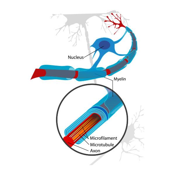 Myelin isoliert Nervenbahnen. Quelle: Wikipedia